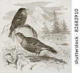 Small photo of Alpine Accentor old illustration (Prunella collaris). Created by Kretschmer, published on Merveilles de la Nature, Bailliere et fils, Paris, 1878