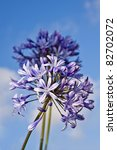 Blue Flowers  Agapanthus  On ...