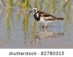 Adult Ruddy Turnstone In...