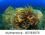 Pair Of Red Sea Anemonefish In...