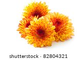 Orange Chrysanthemum Isolated...