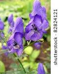 Small photo of Monkshood (Aconitum napellus) flowers