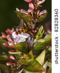 Small photo of Hover fly,Episyrphus balteatus, on flower of Abelia grandiflora showing leaves, buds and flowers.