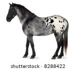 Appaloosa Horse In Front Of A...