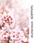 Cherry Blossoms  Sakura