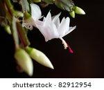 blooming christmas cactus - stock photo