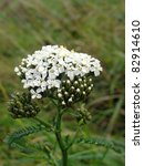 Small photo of White Yarrow (Achillea Millefolium ) plant