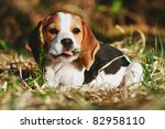 Stock photo cute beagle puppy months plays with bough in the forest in the evening hdr 82958110