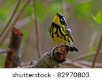 Yellow Rumped Warbler In Full...