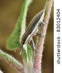 Small photo of Beetle Lixus albomarginatus on a plant