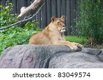 Lioness at Rest:  A mature African Lioness (Panthera leo) remains alert while resting on a rocky outcrop - stock photo