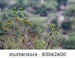 Small photo of Yellow-collared Lovebird (Agapornis personatus), also called Masked Lovebird or Eye Ring Lovebird in Tarangiri National Park, Tanzania