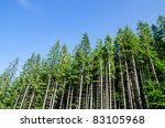 Pine Forest Under Deep Blue Sk...