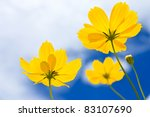 Yellow Cosmos Flower And Blue...