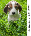 Stock photo estonian hound puppy 83119702