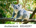 Cute Australian Koala In Its...