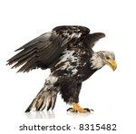 Young Bald Eagle  5 Years   ...