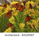 Monarch Butterflies On Yellow...
