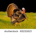 Thanksgiving Turkey Strutting...
