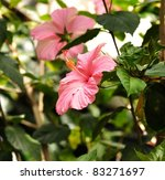 Pink Hibiscus Flowers in a tropical garden - stock photo