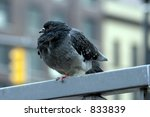 Fat Pigeon Sitting On A Fence