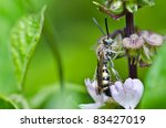 Mammoth Wasp In Green Nature O...
