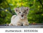 Stock photo lion cub 83533036