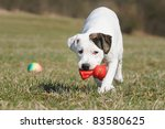 Stock photo old english bulldog whelp months playing with cat original race alte englische bulldogge 83580625