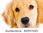 A beautiful young Golden Retriever dog. - stock photo