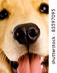 Close up face of a young Golden Retriever dog (focus on nose) - stock photo