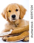 A young Golden Retriever Dog sitting with soft fluffy slippers. - stock photo
