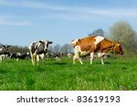 black and white cows in dutch... | Shutterstock . vector #83619193
