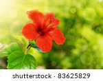 Red Hibiscus Flower And Foliag...
