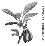 Damson Or Prunus Insititia Or...