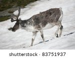 Wild Reindeer On The Snow  ...