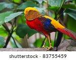 Golden Pheasant  Chrysolophus...