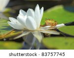 White Water Lily. A Floating...