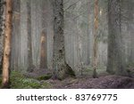 Conifer forest in fog - stock photo