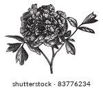 tree peony  paeonia moutan  ... | Shutterstock .eps vector #83776234