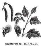 white poplar or populus alba ... | Shutterstock .eps vector #83776261