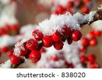 Red Cotoneaster Berries With...