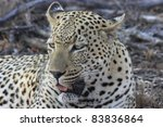 Close up image of a large leopard in the African wilderness - stock photo