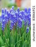 Grape Hyacinth In Spring