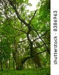 Oak Tree In The Forest   Mazury ...