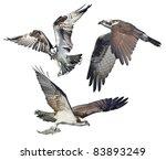 Three Ospreys In Flight ...