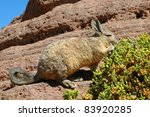 Small photo of Viscacha, Salar de Uyuni, Bolivia