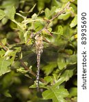 Small photo of a female aeshna juncea dragonfly resting on hawthorn leaves