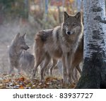 timber wolf pack on cool  fall... | Shutterstock . vector #83937727
