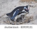 African Penguin With Its Chicks