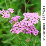 Small photo of yarrow (Achillea millefolium )